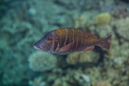 blenny: Lethrinus mahsena - sky emperor, mahsena imperor swimming in red sea