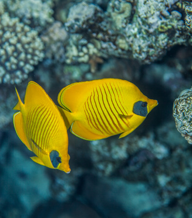 chaetodontidae: pair of butterflyfish swiminng near the stone wall of Red Sea coral reef
