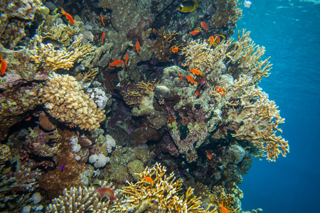 hard coral: school of anthias - sea goldie at a beautiful red sea coral reef