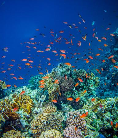 basslet: school of anthias - sea goldie at a beautiful red sea coral reef
