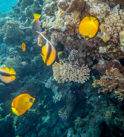 chaetodontidae: two pairs of different butterflyfish swiminng near the stone wall of Red Sea coral reef Stock Photo