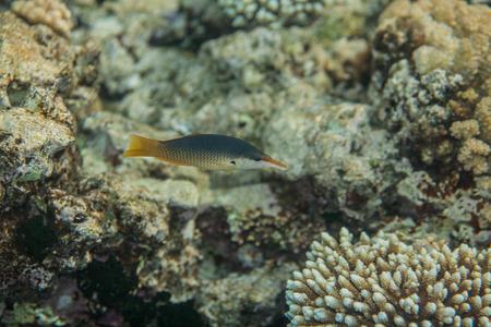 labridae: Bird wrasse - gomphosus caeruleus female swiminng in red sea near corals