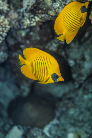 butterflyfish: pair of butterflyfish swiminng near the stone wall of Red Sea coral reef