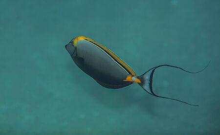 naso: Orangespine unicornfish near the sand boottom of red sea Stock Photo