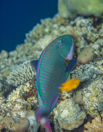 bicolor: Bicolor Parrotfish - Cetoscarus bicolor eating corals in the Red Sea