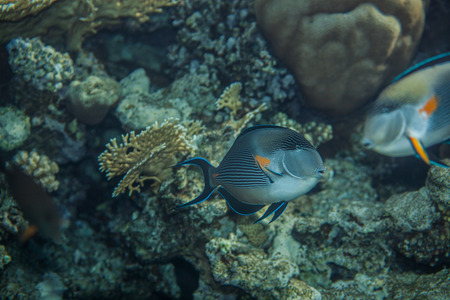 surgeonfish: Sohal Surgeonfish on the coral reef, swimming around
