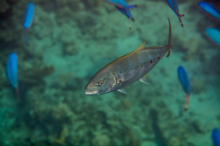 Orangespotted Trevally - Carangoides bajad hunting in red sea photo