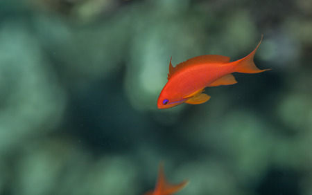 Sea goldie male swimming in the red sea, corals background