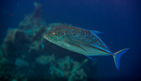hardcoral: bluefin trevally - caranx melampygus in the red sea, portrait Stock Photo
