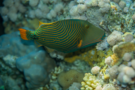triggerfish: Portrait of Orange-striped triggerfish - Balistapus undulatus, while eating soft corals in the red sea Stock Photo