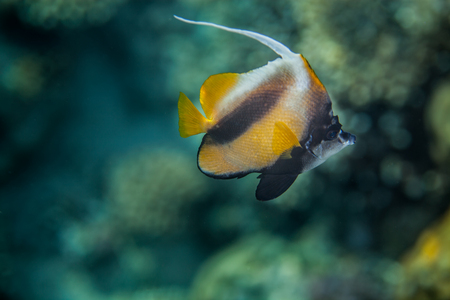 Red Sea Bannerfish - Heniochus intermedius,  Red Sea, Egypt photo