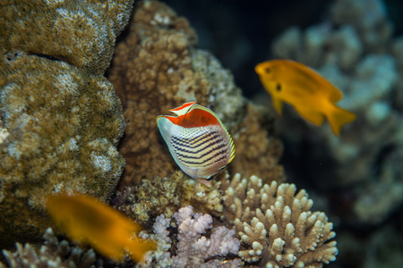 chaetodontidae: Tropical fish - Eritrean butterflyfish eating coral polyps in red sea