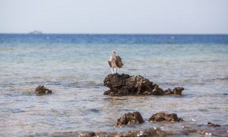bird eating raptors: Osprey on the Red Sea rock, searching for food, this one hunting every day in that place
