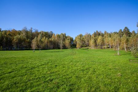 copse: birch copse on summer field landscape in sunny weather
