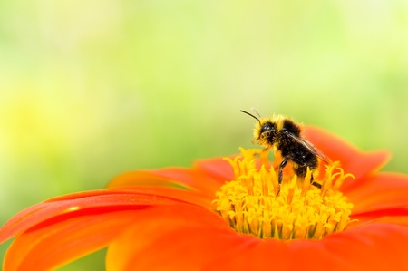 A honey bee collecting pollen on an orange flower with yellow center. Soft focus on the bee with bright green background. photo