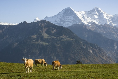 Cows grazing in front of the Swiss alps peaks Eiger and M�nch. photo