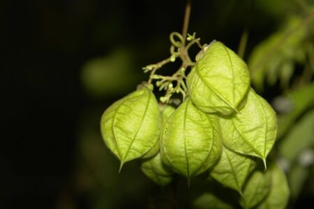 winter cherry: Close photos of Physalis angulata, most known as winter cherry