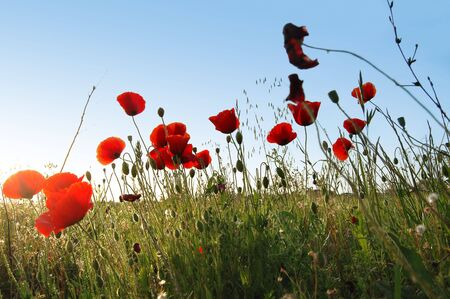 Red Poppies on a green field on a sunny day. photo