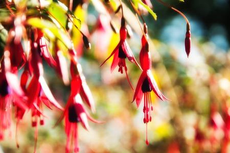 flores fucsia: otoño rojo, rosa y fucsia flores púrpuras Foto de archivo
