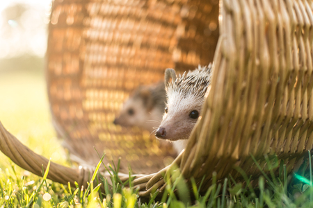 wants: Small hedgehog wants to have a walk