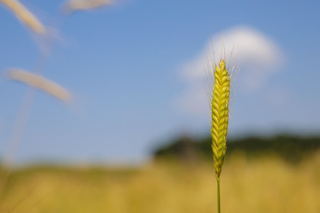 earliest: Close-up image of einkorn wheat in the nature. Einkorn wheat is one of the earliest cultivated forms of wheat, alongside emmer wheat in the Pre-Pottery Neolithic.