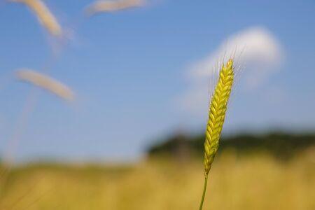 자연 속에서 einkorn 밀의 이미지. Einkorn 밀 사전 도자기 신석기 시대의 에머 밀 함께, 밀의 초기 재배 형태 중 하나입니다. 스톡 콘텐츠