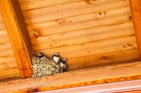 birdwatcher: Swallow baby birds in nest under a wooden shelter.