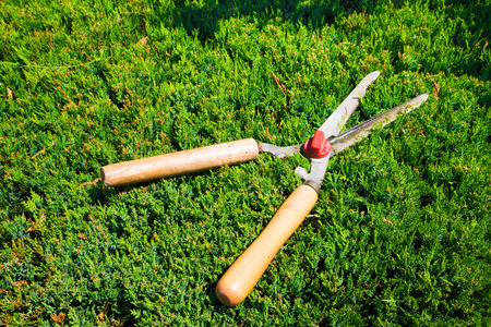 hedges: Gardening tool to trim hedges and bushes. Gardening shears.