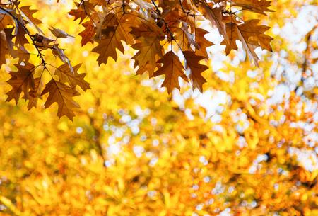 ciclo de vida: roble hojas de oto�o con bellotas contra un �rbol con hojas amarillas borrosa. Conceptual del cambio de estaci�n de oto�o o el oto�o.