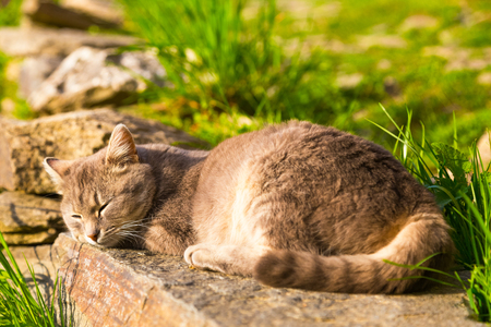 dozing: Cat sleeping peacefully in the sun on a stone in the garden viewed from its tail with focus on the head