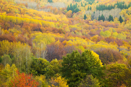 Aerial view of a colorful deciduous and coniferous forest in autumn with multicolored yellow, orange and green foliage on the trees in a scenic full frame view of the changing seasons Stock Photo