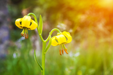 Yellow lily flowers in mountain - Lilium jankae,  with golden glow from the sun. Unique endemic species of the Balkan Peninsula. Stock Photo