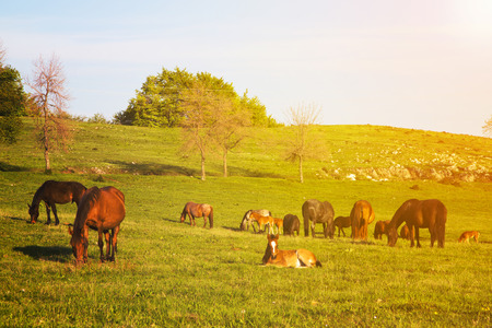 Scenic view of horses out to pasture on a hilly countryside as the sun shines up above with golden glow