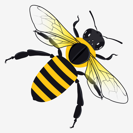 Detailed Honey Bee Vector Illustration Isolated on White