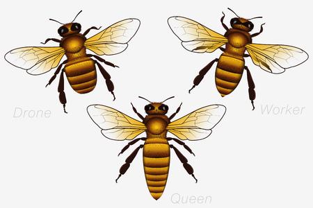 Set di tre api da miele. Regina e Lavoratrice e Drone. Illustrazione vettoriale dettagliata isolato su bianco