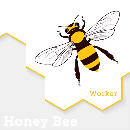 beeswax: Honey Bee Vector Illustration Isolated on White