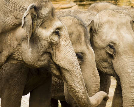 Three elephants with their heads and trunks close together Stock Photo