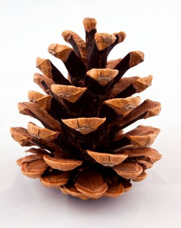 Pine cone fully open on a white background
