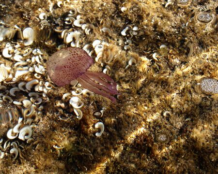 Jelly fish swimming in the sea Stock Photo