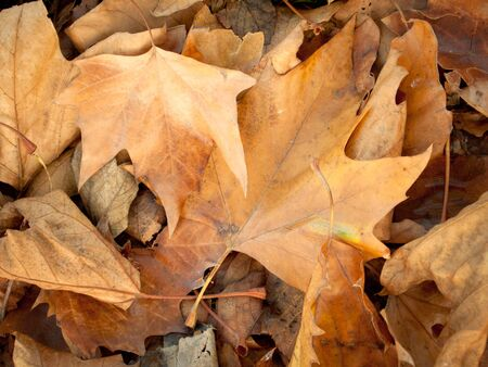 Brown crispy leaves on the ground in autumn Stock Photo