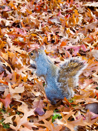 Squirrel in the autumn leaf fall