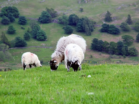 lake district england: Sheep grazing in Cumbria, Lake district, England