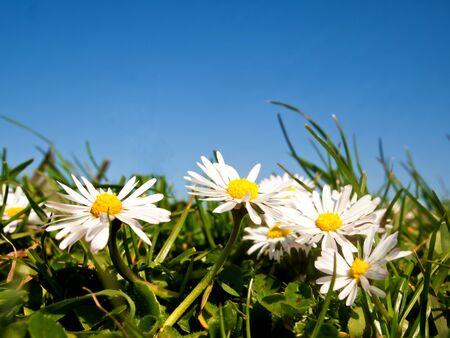 Daisy flowers on green grass against blue sky