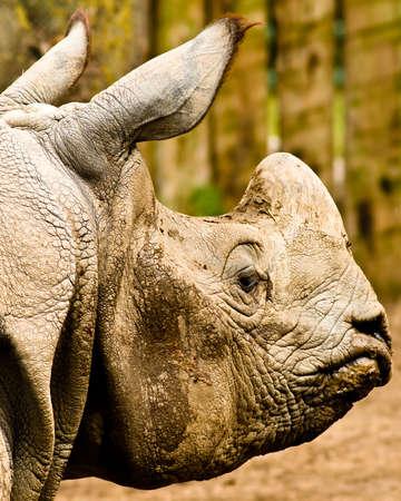 rhino head close up