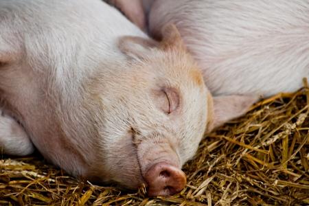 Happy sleeping piglet