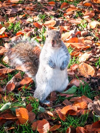 An Eastern Grey squirrel, Sciurus carolinensis, stands on its hind legs amongst autumn leaves