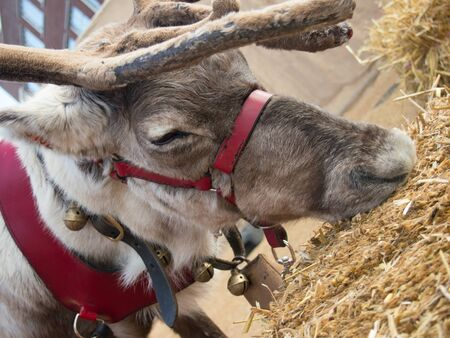 Close up of a reindeer eating hay