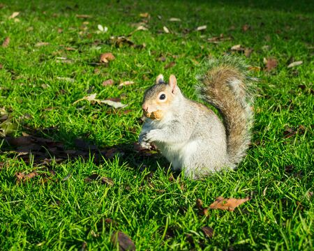 eastern gray squirrel with nut in mouth