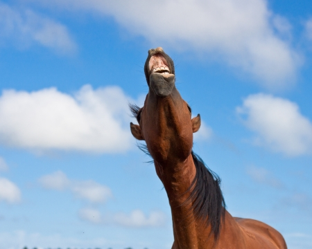 braying horse against a blue sky