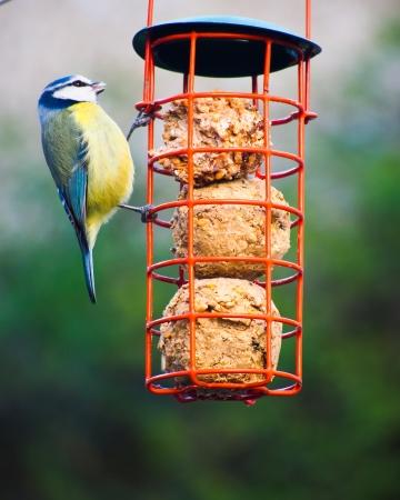 cyanistes: Blue tit  Cyanistes caeruleus  feeding from a hanging feeder containing fat balls